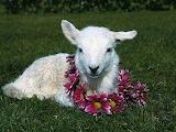 Xai - Lamb