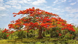 Red african tulip tree