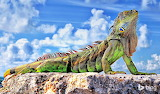 Nothing common about this gorgeous Common Iguana
