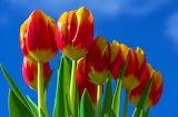 ☺♥ Tulips...