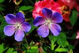 Geranium Closeup Geranium pratense Two Blue 576697 1280x853