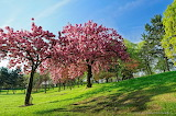 Normal Deux-superbes-cerisiers-en-fleurs