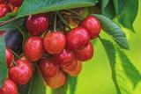 ^ Cherries