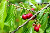 #South African Christmas Cherry