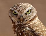 Owl Eyes 2