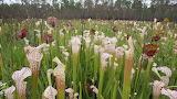 Sarracenia leucophylla, Splinter Hills bog