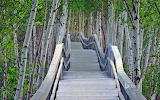 Raised boardwalk and white birch trees in Sackville Waterfowl Pa