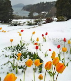 Tulipes a la neu - Tulips on the snow
