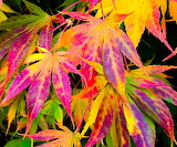 Brilliantly colorful Autumn Leaves