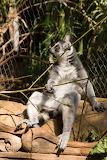 Katta im Tierpark Hagenbeck