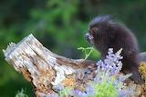 A baby porcupine smells a flower