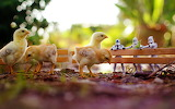 Toys, chicks, chickens, star wars, figurines, fence, nature