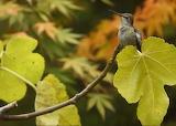 Female Anna's Hummingbird - © 2018 boonibarb