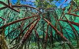 Mangroves in Staniel Cay. Exumas. Bahamas