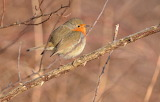 Ocell - Bird