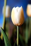 White_tulip