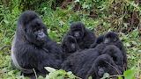 Gorillas familly