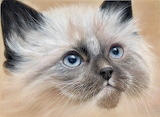 ^ Siamese Kitten ~ Colin Bradley