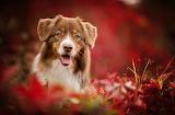 Meet Red Dog