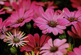 Pink daises
