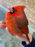 ^ Cardinal
