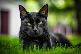 The green eyed black cat