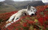 Dog-flowers-sleeping-landscape-wallpaper