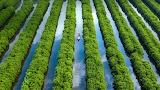 Mangrove Fields Vietnam