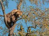 Braunbär/Brown Bear