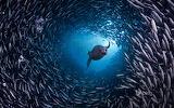 Galápagos sea lion swims through school of Black-striped salema