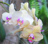 Wild Orchids ~ Sulawesi