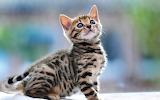 Small beautiful Bengal cat
