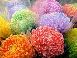 ^ Rainbow chrysanthemums