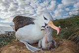 albatross & chick