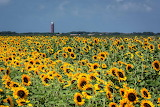 Sunflowers (Ouddorp)