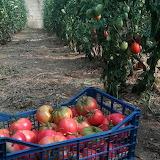 Tomàquets - Tomatoes