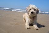 Rocco am Strand in Egmond