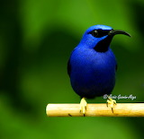 YellowLeggedHoneycreeper