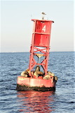 Seals seagull hanging out on red buoy