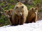 mama bear & cubs