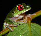Red-Eyed Tree Frog ~ Osa