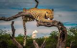 Leopard, snag, wild cat, animal, branch, tree