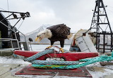The Alaskan Harbor Where Bald Eagles Scavenge Like Pigeons-Corey