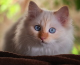 Fluffy kitty with blue eyes