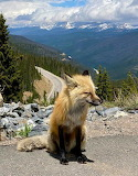 Exhausted Fox