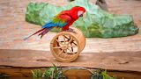 Parrots, leaves, red, bright, bird, stone, tile, toy, rope, whee