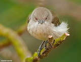 ^ Thick-billed Flowerpecker - Ashish Inamdar