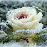 Rose in the cold
