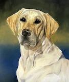 Labrador - portrait