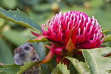 Greg Bourke waratah & eastern pygmy possum